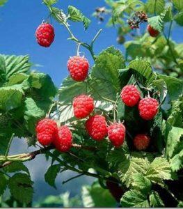 ветка малины с ягодами