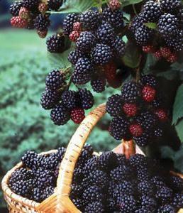 полученный урожай малины