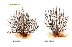 смородина до и после обрезки