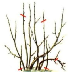 обрезка красной смородины