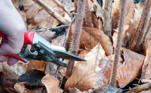 Малина ремонтантная осенью уход обрезка