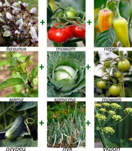 совместимость различных овощей