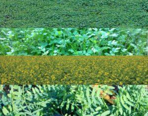 сидераты в поле