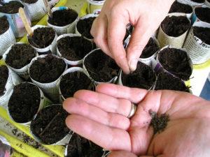 посев семян цветной капусты