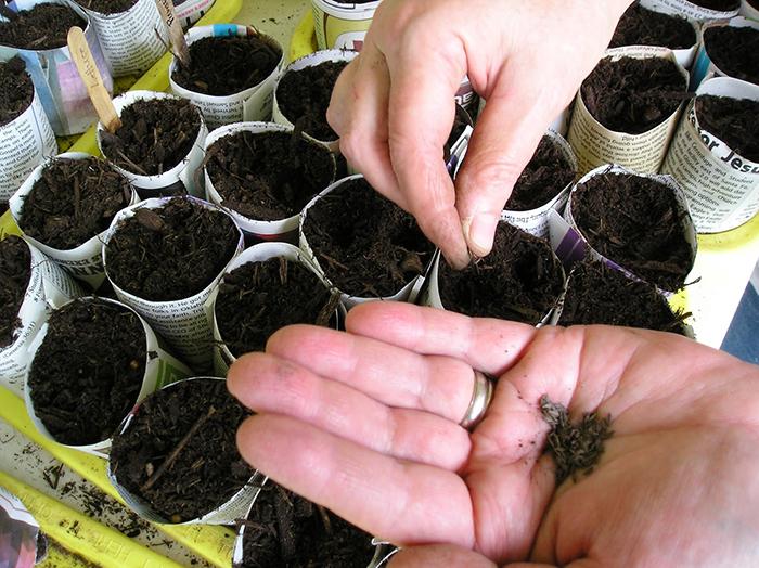 Как вырастить семена капусты в домашних условиях