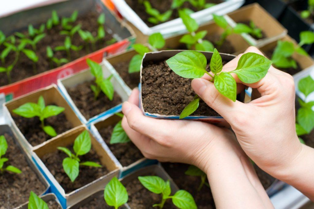 как сажать семена перца на рассаду