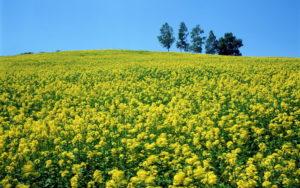 поле горчицы