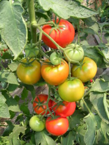 помидоры спеют на кусту