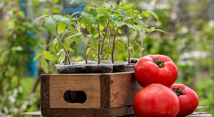рассада и плоды томатов
