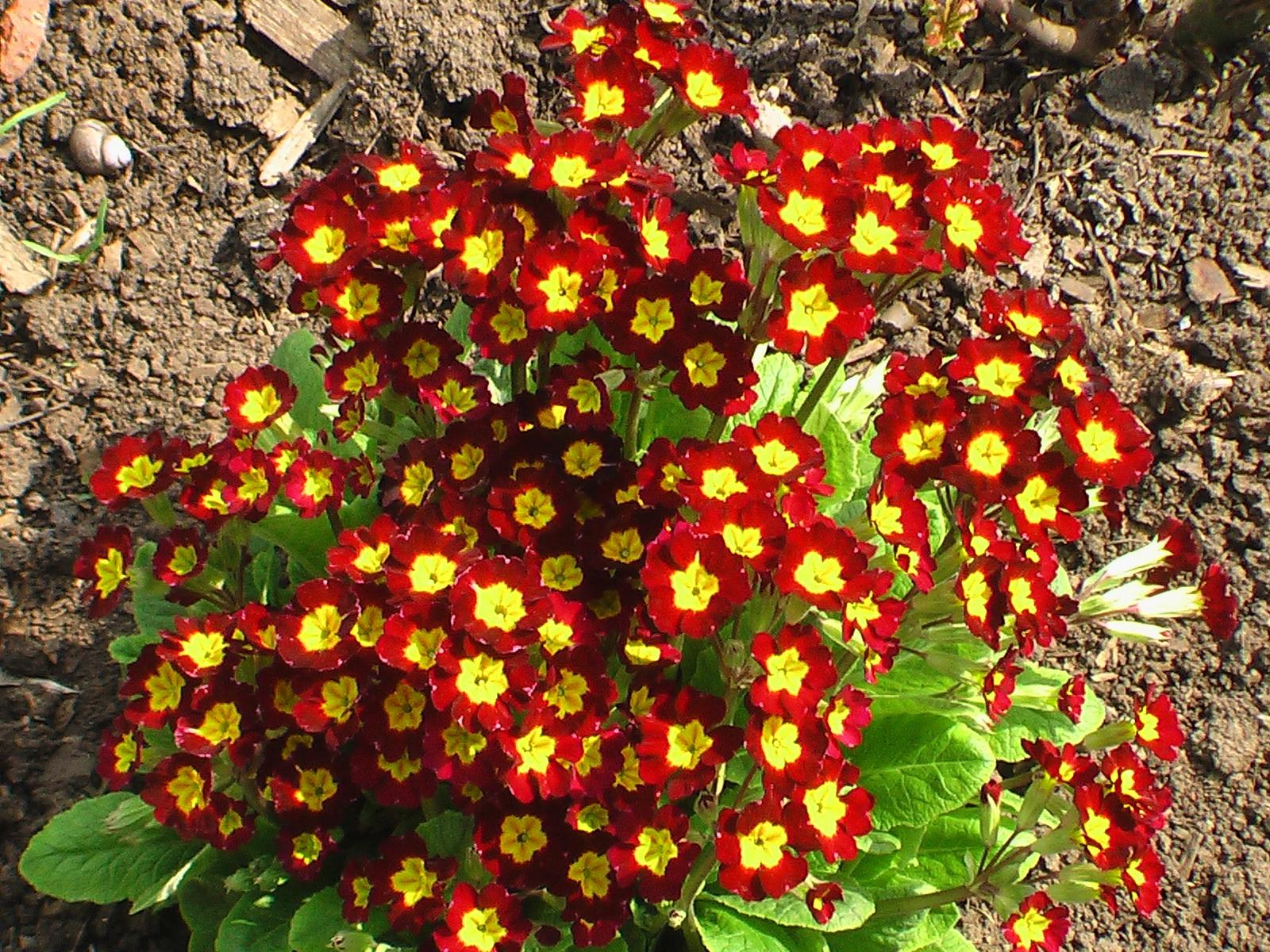 Комнатный цветок, цветущий круглый 15