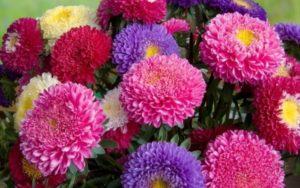 цветы астры