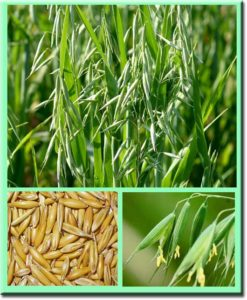 овес и его зерна