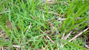 овес на огороде