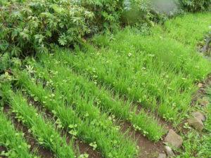 всходы овса на огороде