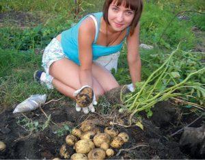 сбор урожая картофеля
