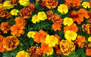 цветы бахатцы