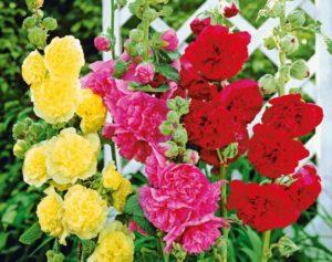 цветы шток-розы