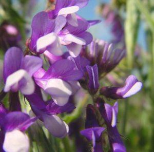 цветы вики