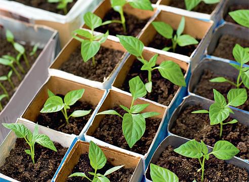 время для посадки семян перца