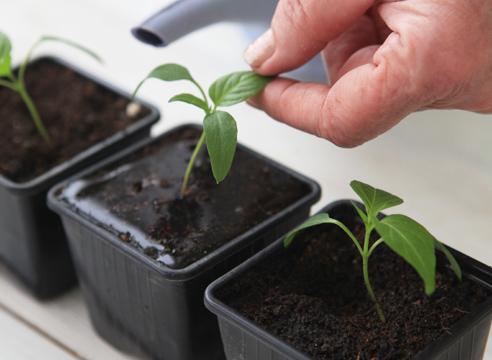 выращивание рассады перца дома