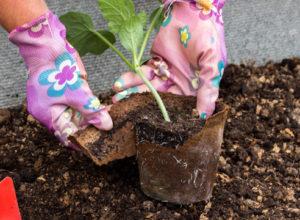 как посадить арбуз в землю