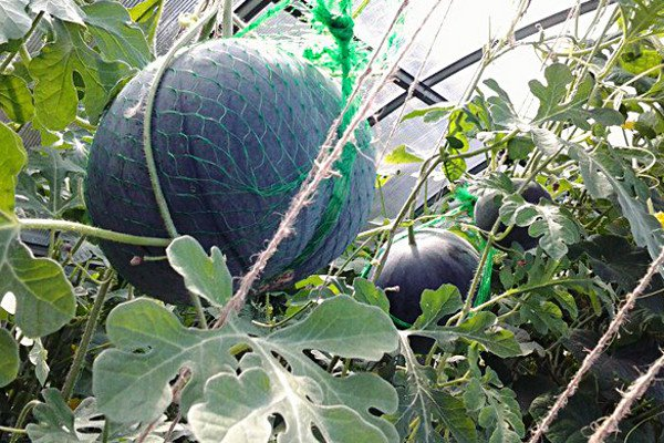 ношу выращивание арбузов в теплице также: Выбираем детское