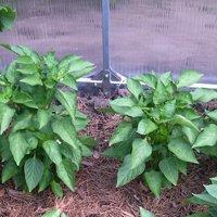 перец белозерка выращивание