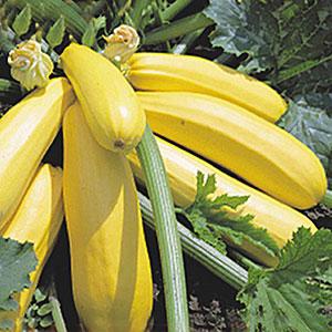 кабачок желтоплодный