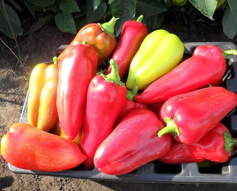 собранный урожай перца