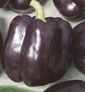 перец пурпурный колокол