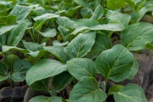 благоприятное время для высаживания семян баклажан