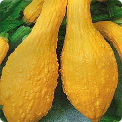 кабачок золотой гребешок