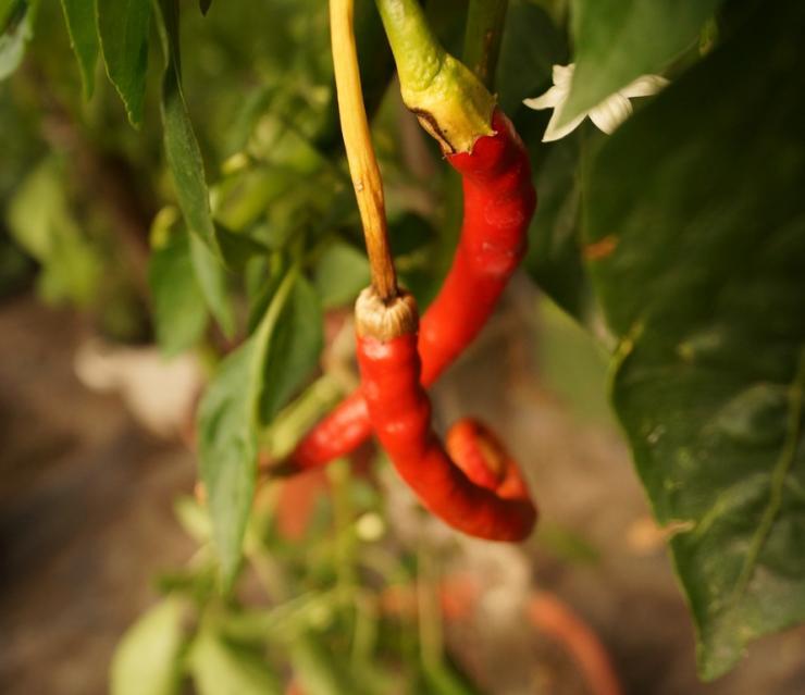 Перец чили выращивание в грунте 792