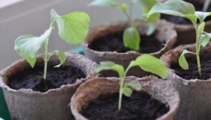 ростки боклажана