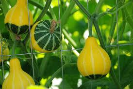 декоративная тыква выращивание