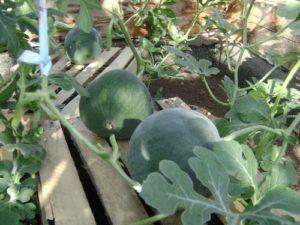 тепличное выращивание арбузов