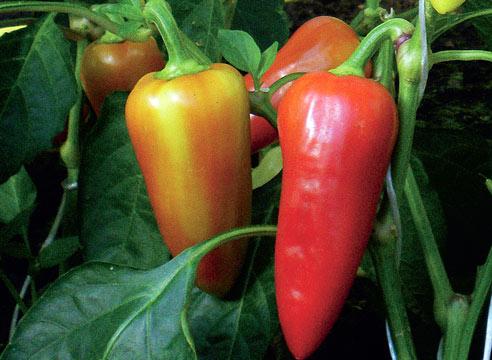 созревающие плоды перца