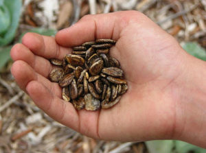 посев арбузов семенами в грядку
