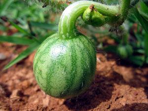 тепличное выращивание арбузов в сибири