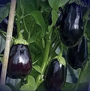 выращивание баклажана клоринда