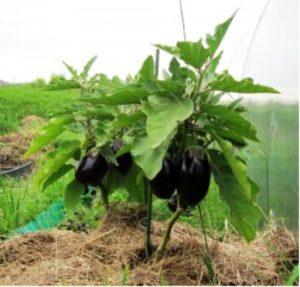 какие семена баклажанов подобрать для открытого грунта