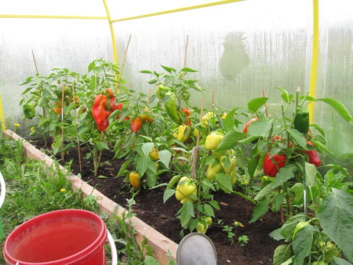 Можно ли помидоры сажать вместе с перцами 374
