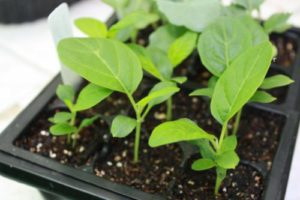высадка семян черный красавец