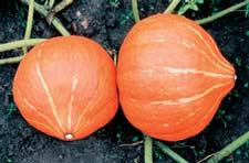 выращивание тыквы Россиянка на грядке