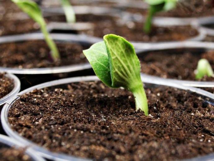 сроки высадки тыквенных семян на рассаду