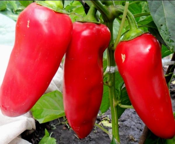 три красных перца на кусте