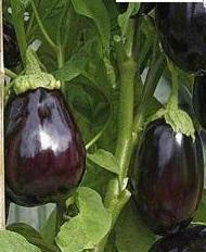 баклажан щелкунчик выращивание