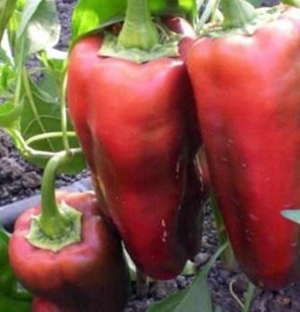 крупные плоды красного перца