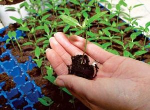 подготовка семян чили на посадку в домашних условиях