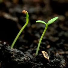 как вырастить рассаду баклажан хитрости посева
